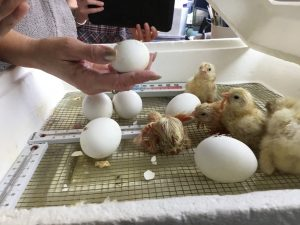 chicks e1525869740962 300x225 - Mrs. Diane Brown - Meet the Tiniest Members of Fourth Grade!